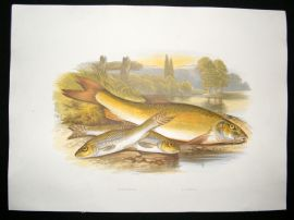 Houghton 1879 Folio Antique Fish Print Gudgeon, Barbel